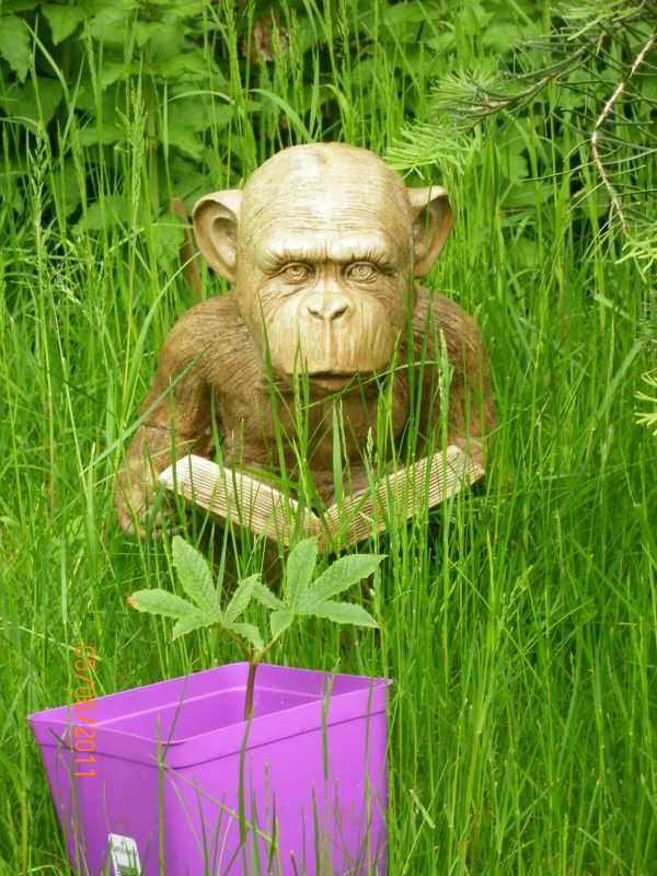Enlightened Ape stained concrete monkey statue for outdoor garden or patio